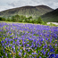 Glen Etive bluebells